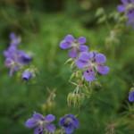 baikal-flowers-01