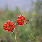 baikal-flowers-04