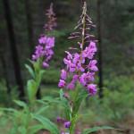 baikal-flowers-06