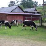 bolshiye-koty-cows