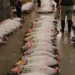 Tuna auction, Tsukiji Fish Market, Tokyo (2014/08/12 05:28:49+09:00)