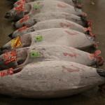 Tuna auction, Tsukiji Fish Market, Tokyo (2014/08/12 05:34:58+09:00)