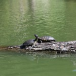 sanfrancisco-45-the_turtles_on_the_lake_1-20150303_115333_6d_img_6381_down1600
