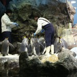 018-Loro_Parque_gallery_3_More_penguins-20151227_095149_6d_img_1327_down1920