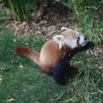 027-Loro_Parque_gallery_12_Say_hello_to_Red_Panda-20151227_131008_6d_img_1541_down1920