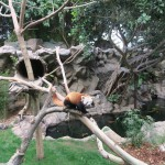 028-Loro_Parque_gallery_13_Red_Panda_inspecting_its_little_territory-20151227_131259_g7x_img_1600_down1920