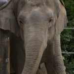 142-Asian_Elephant-20160502_101749_6d_img_3783_down1920