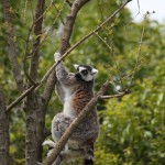 145-Ring_tailed_Lemur-20160502_120132_6d_img_3850_down1920